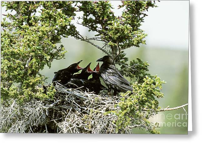Common Raven Feeding Young In Nest Greeting Card by William H. Mullins