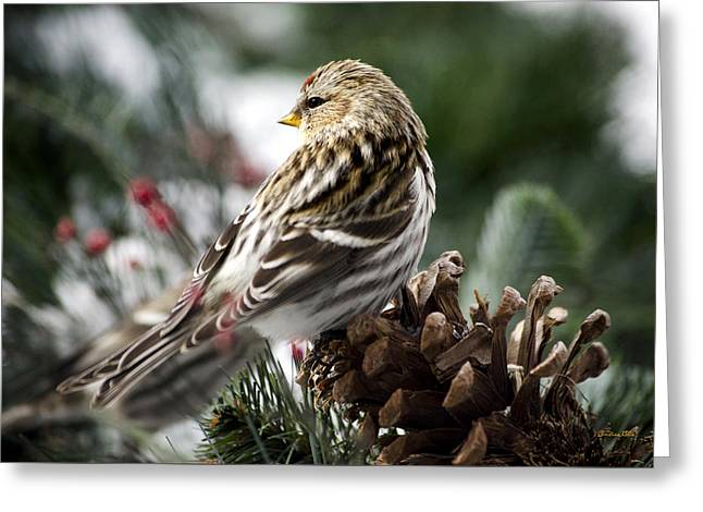 Common Redpoll Greeting Card by Christina Rollo