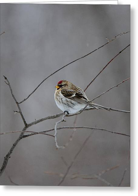 Greeting Card featuring the photograph Common Redpoll by David Porteus