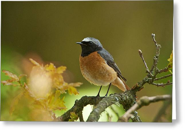 Common Redstart Greeting Card by Paul Scoullar