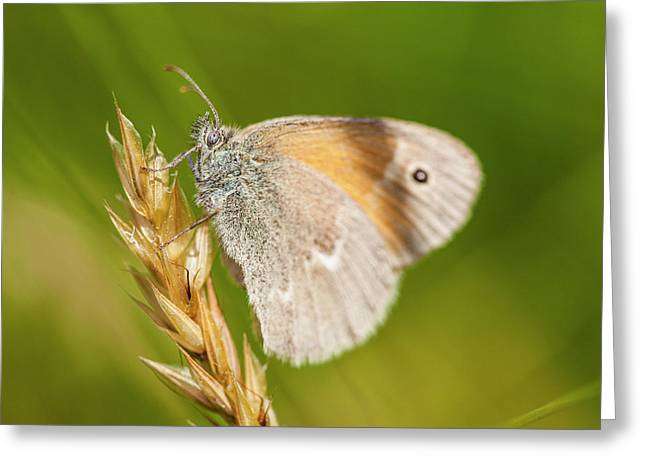 Common Ringlet Butterfly, Coenonympha Greeting Card by Jerry and Marcy Monkman