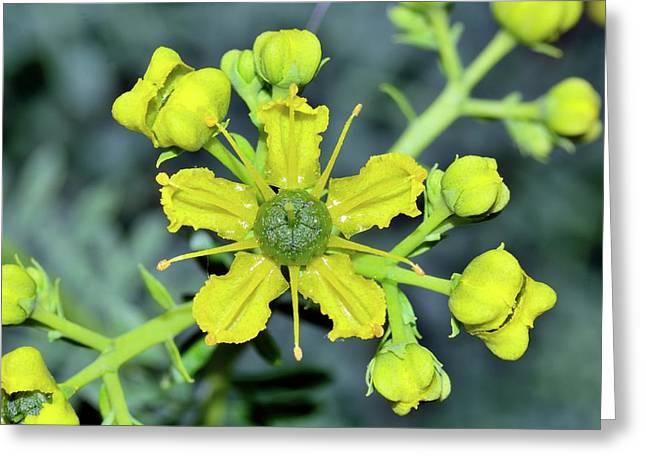 Common Rue (ruta Graveolens) Flowers Greeting Card by Bruno Petriglia