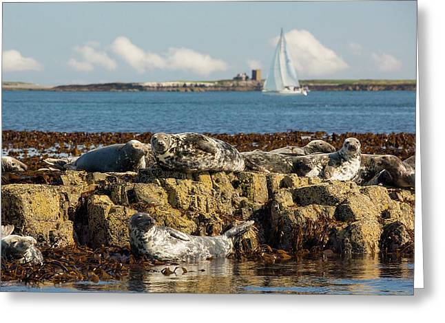 Common Seals Greeting Card by Ashley Cooper
