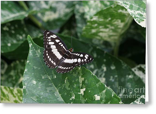 Common Sergeant Butterfly Greeting Card