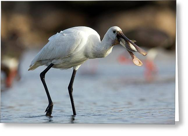 Common Spoonbill (platalea Leucorodia) Greeting Card