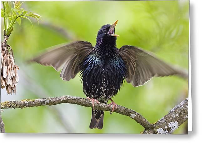 Common Starling Singing Bavaria Greeting Card