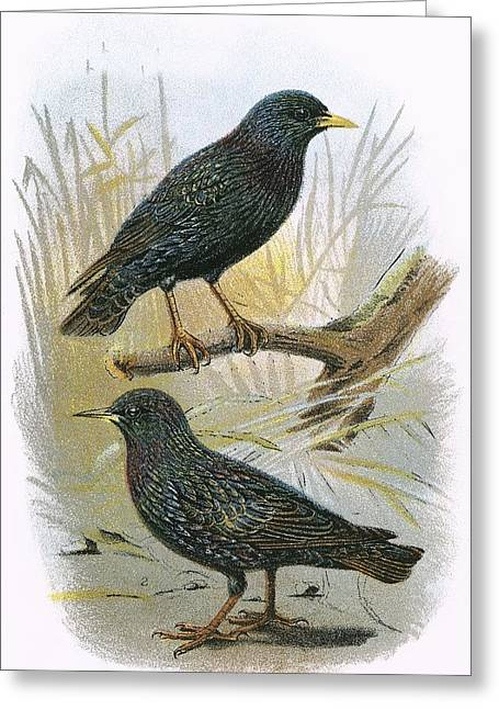 Common Starling Top And Intermediate Starling Bottom Greeting Card