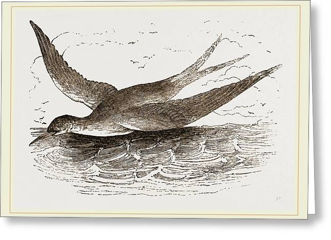 Common Tern Greeting Card