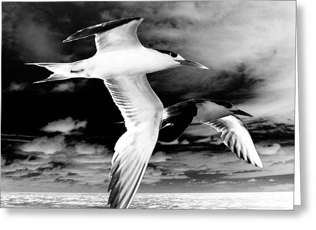 Common Terns Mono Greeting Card