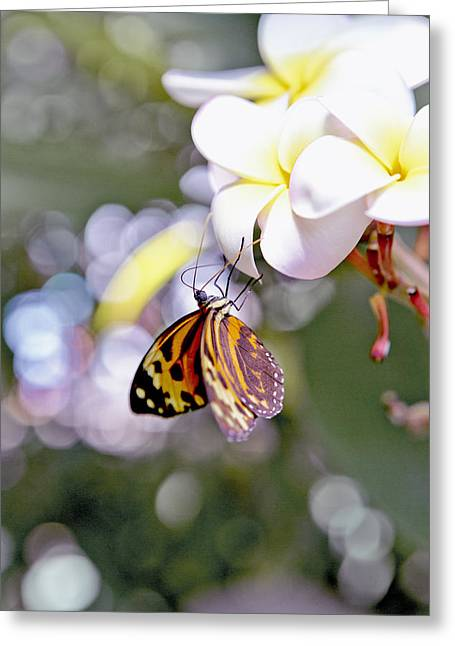 Common Tiger Glassywing Butterfly On Plumeria Bloom Greeting Card