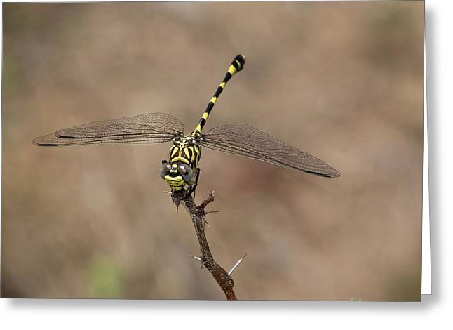 Common Tigertail Dragonfly Greeting Card by Bob Gibbons