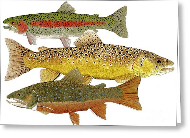 Greeting Card featuring the painting Common Trout  Rainbow Brown And Brook by Thom Glace