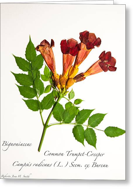 Common Trumpet-creeper 1 Greeting Card