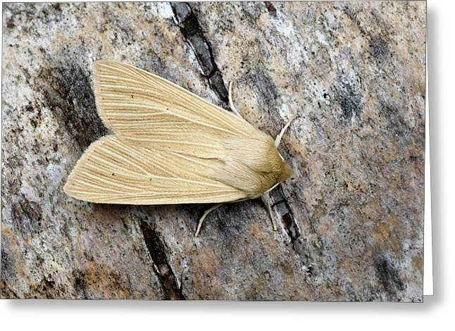 Common Wainscot Moth Greeting Card by Nigel Downer