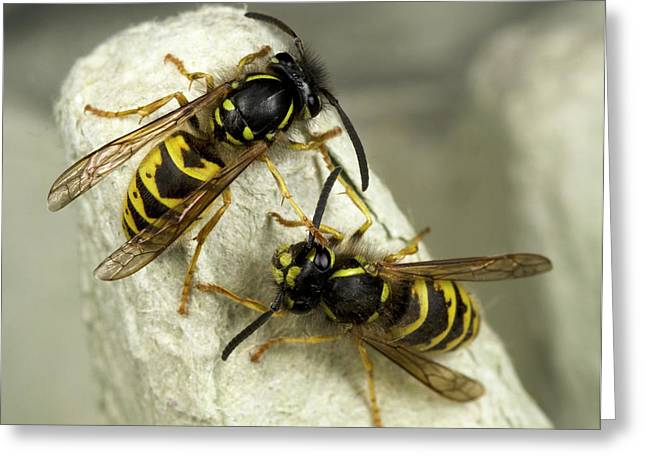 Common Wasps Greeting Card