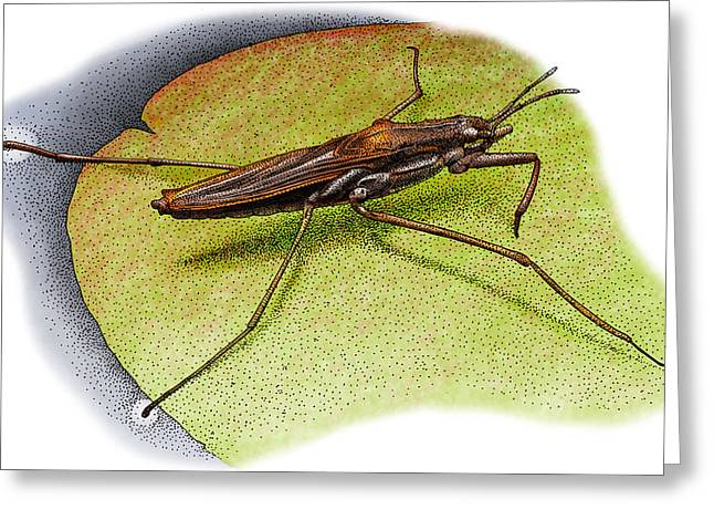 Common Water Strider Greeting Card by Roger Hall