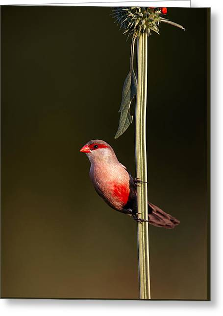 Common Waxbill Greeting Card by Johan Swanepoel