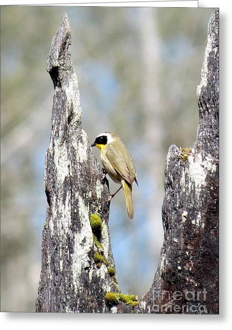 Common Yellowthroat Greeting Card by Gayle Swigart
