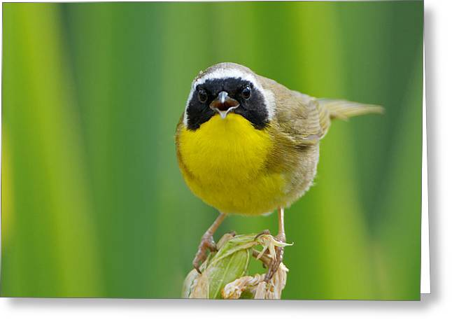 Common Yellowthroat Male Greeting Card