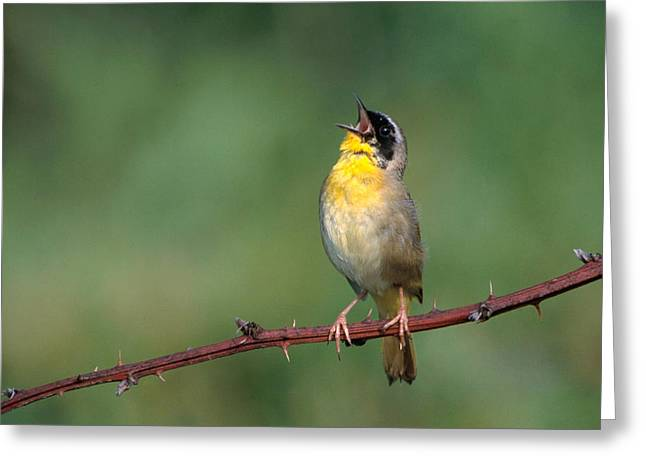 Common Yellowthroat Singing Greeting Card