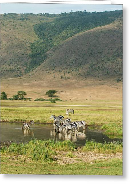 Common Zebras  Equus Quagga  Drinking Greeting Card by Kenneth Whitten