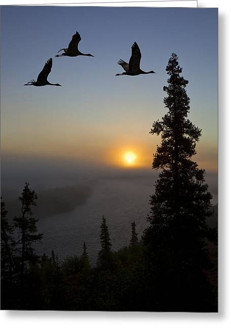 Composite Sandhill Cranes Take Flight Greeting Card by John Hyde