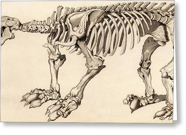Composite Skeleton Of A Megatherium Greeting Card by Universal History Archive/uig
