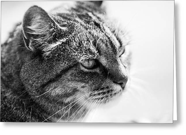Concentrating Cat Greeting Card by Hakon Soreide