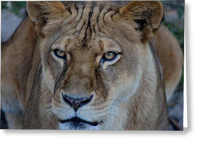 Concerned Lioness Greeting Card