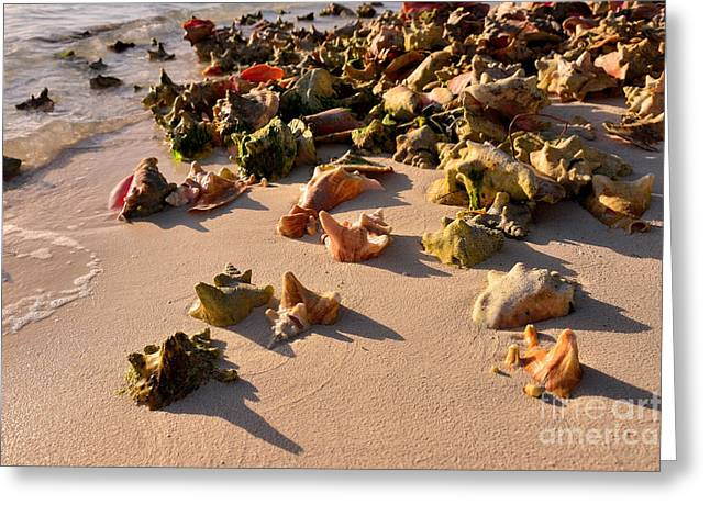 Conch Collection Greeting Card