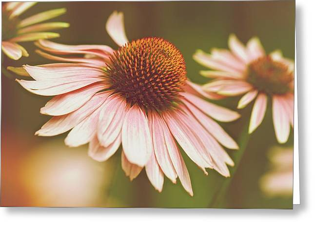 Cone Flower 3 Greeting Card