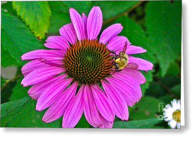 Cone Flower An Bumble  Greeting Card by Brittany Perez