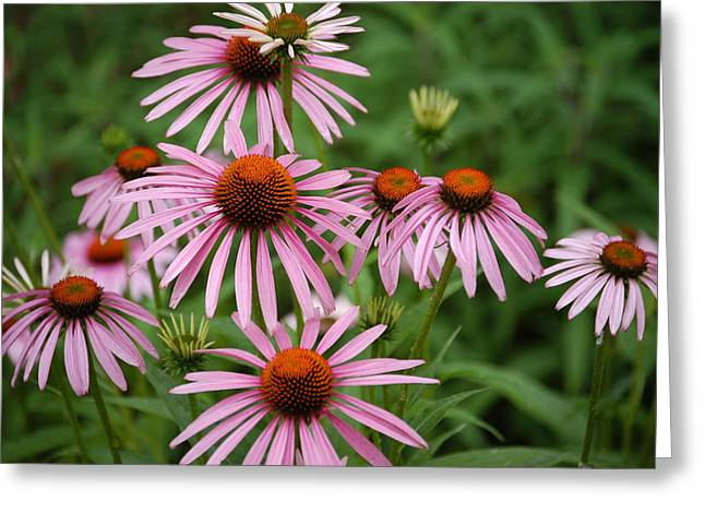 Cone Flowers Greeting Card by Donald Williams