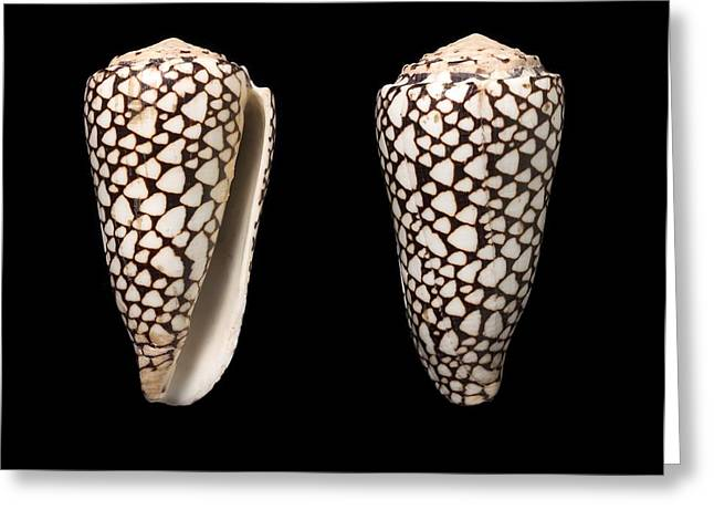 Cone Snail Shells Greeting Card by Science Photo Library