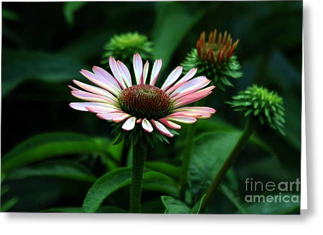 Greeting Card featuring the photograph Coneflower 2014 by Marjorie Imbeau
