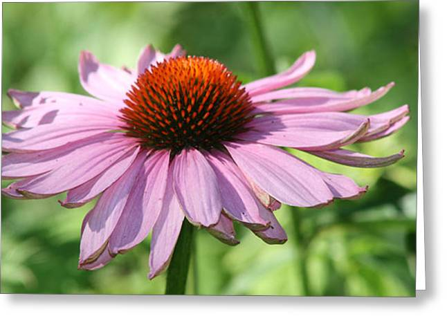 Coneflower In Bloom Greeting Card by Sharon McLain