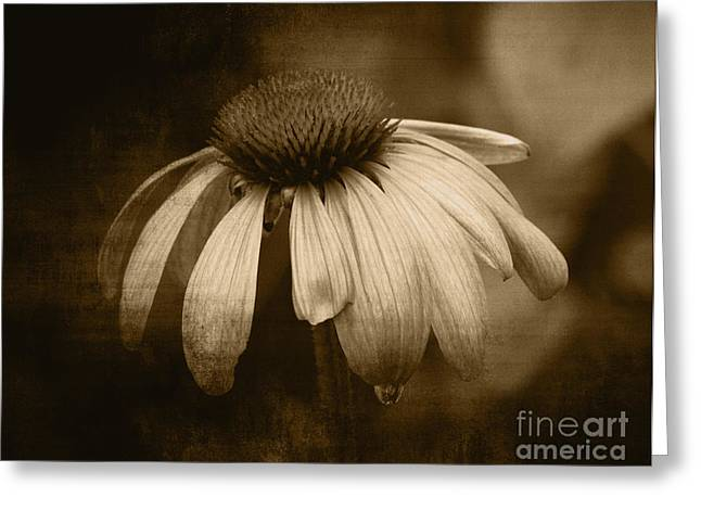 Greeting Card featuring the photograph Coneflower In Sepia by Marjorie Imbeau