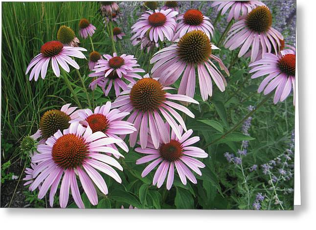 Coneflower Greeting Card by Jill Bell