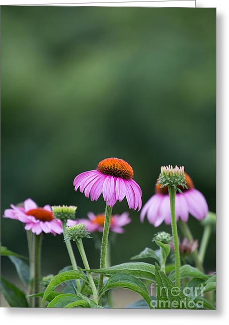 Coneflower Greeting Card by Kay Pickens