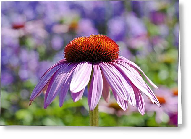 Greeting Card featuring the photograph Coneflower by Lana Enderle