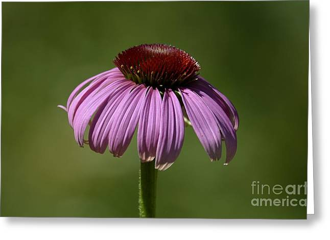 Coneflower Greeting Card by Randy Bodkins