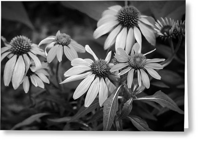 Coneflowers Echinacea Red Painted Bw Greeting Card by Rich Franco