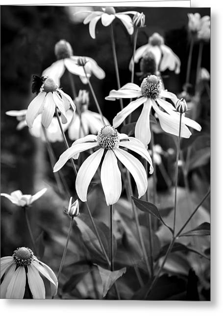 Coneflowers Echinacea Yellow Bw Greeting Card by Rich Franco