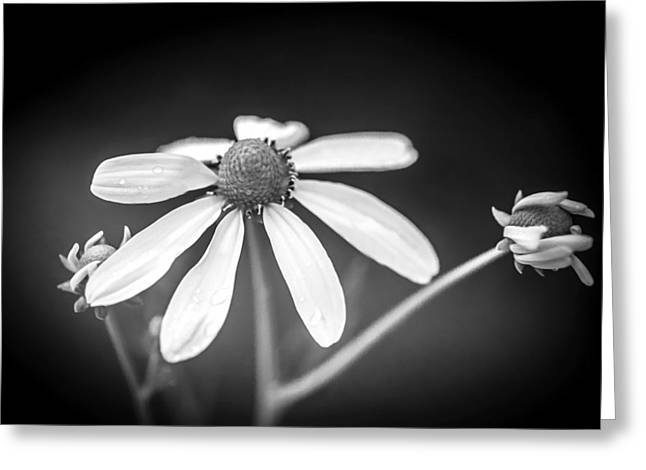 Coneflowers Echinacea Yellow Painted Bw   Greeting Card by Rich Franco