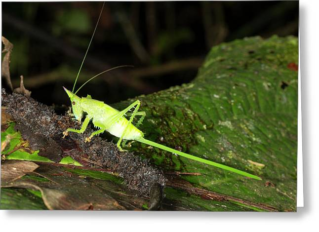 Conehead Katydid With Long Ovopositor Greeting Card by Dr Morley Read