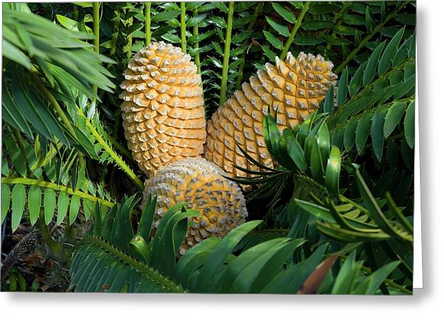 Cones Of Encephalartos Altensteinii Greeting Card by Dr Jeremy Burgess