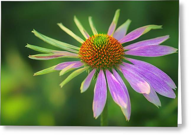 Conflicted - Identity Crisis - Coneflower Greeting Card by Nikolyn McDonald