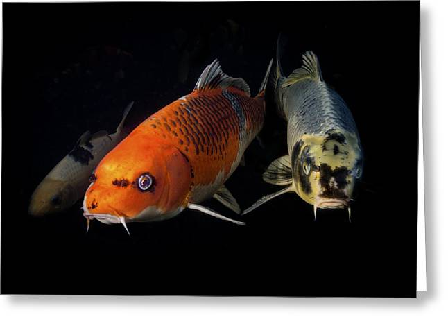 Confrontation Of 3 Koi Greeting Card by Jean Noren