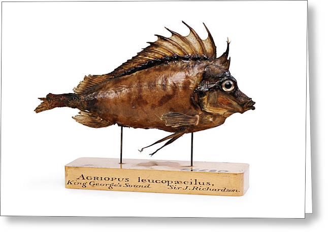 Congiopodus Leucopaecilus Fish Greeting Card
