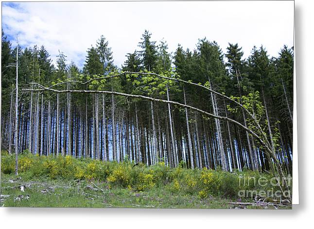 Coniferous Forest Greeting Card